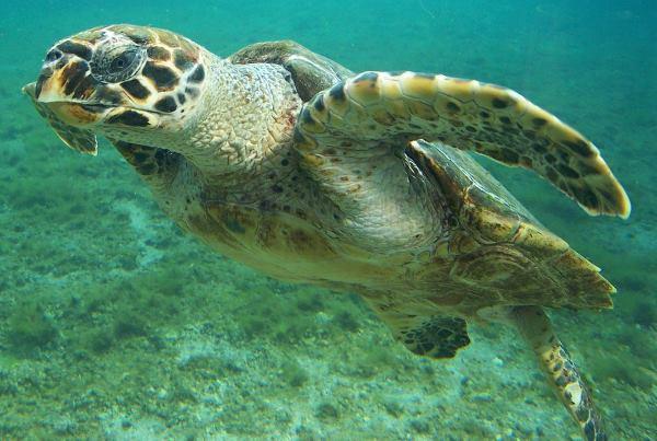 tartaruga de pente