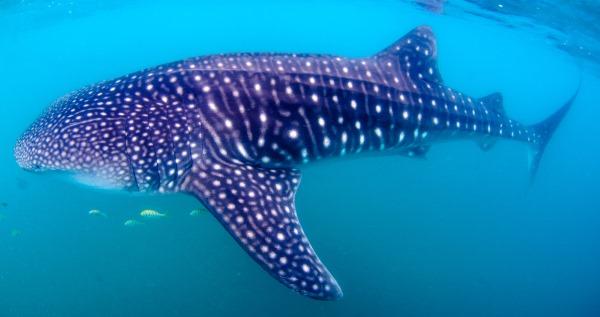 tubarao baleia