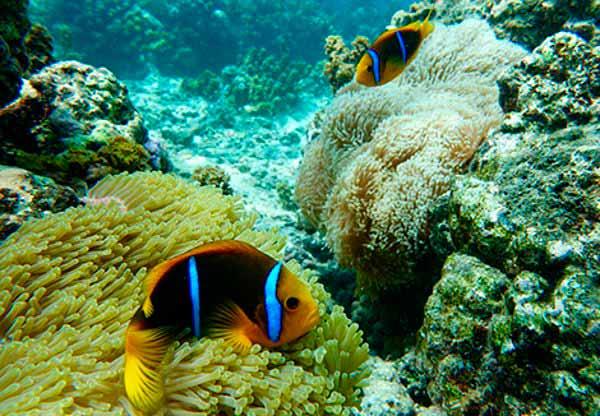 anemonas e peixe palhaco 2