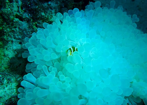 anemonas e peixe palhaco 3