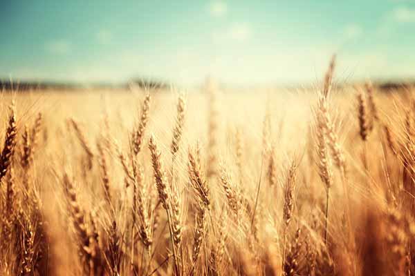 campos trigo