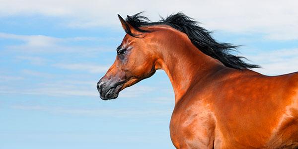 cavalo arabe