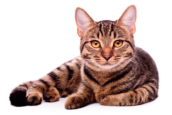 gato maestria