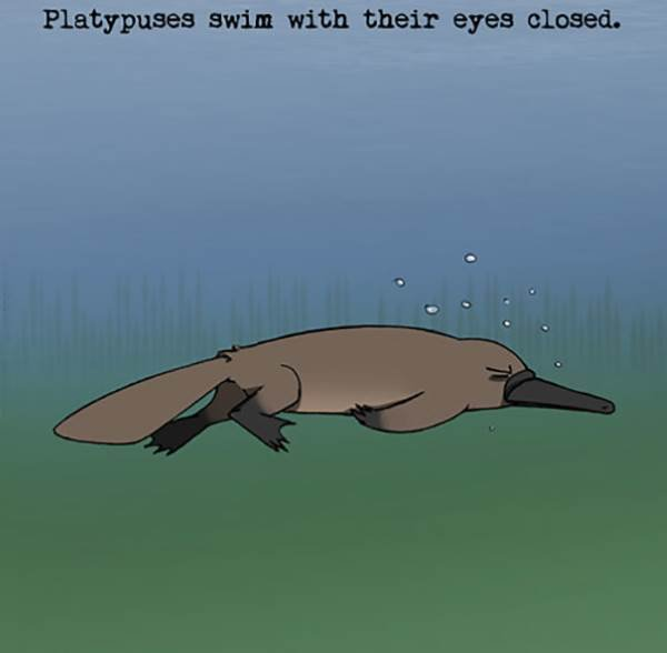 platypuses curiosidade