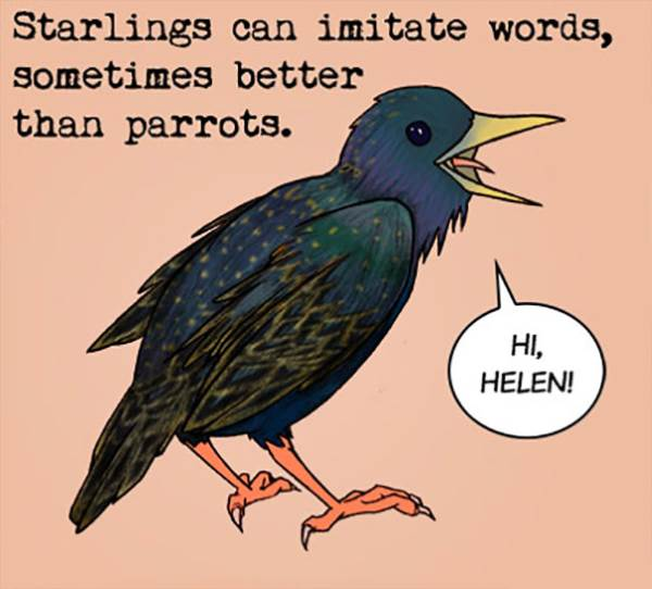 starling curiosidade