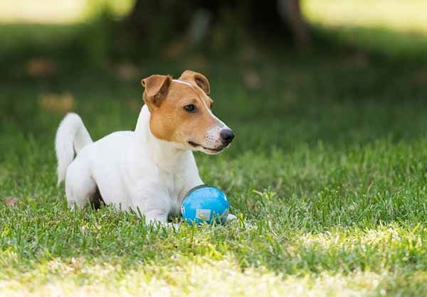 jack russell bola