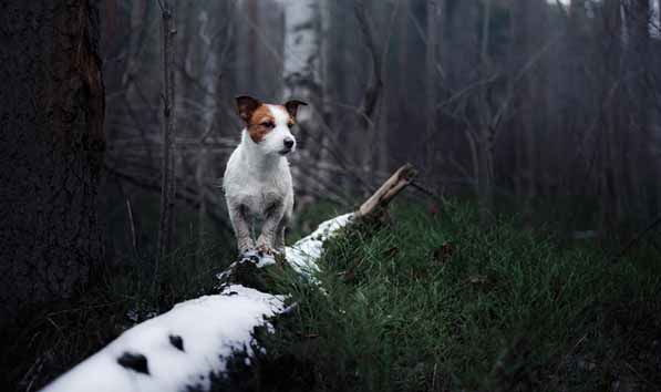jack russell caca