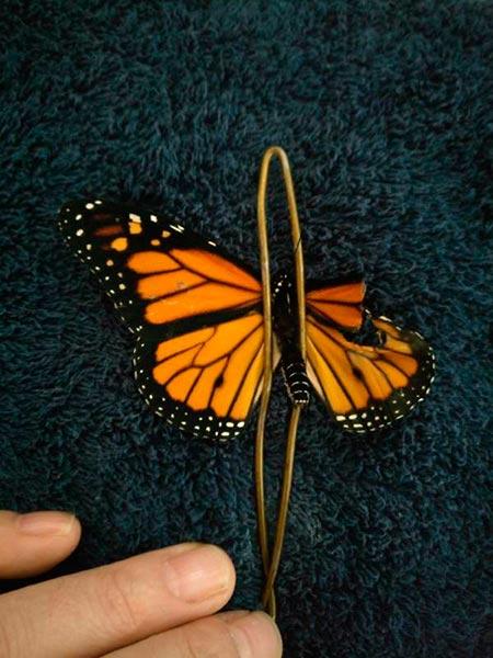 borboleta monarca 3