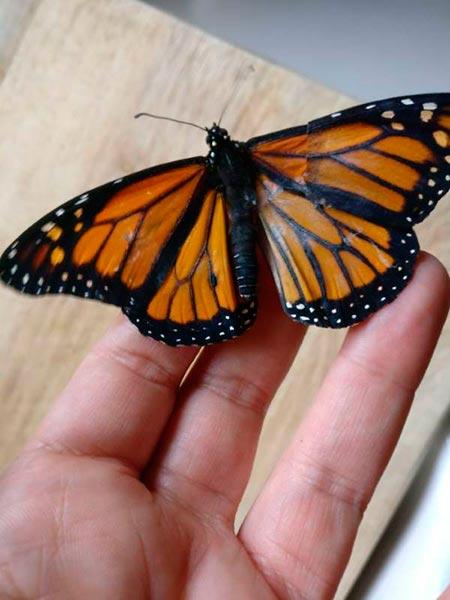 borboleta monarca 4