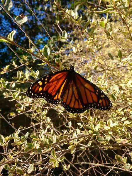 borboleta monarca 7