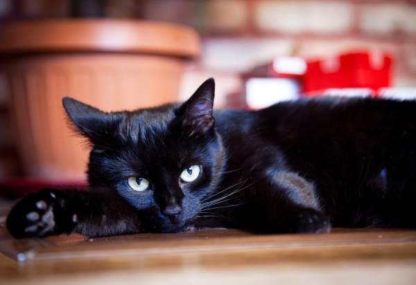 gato preto 2