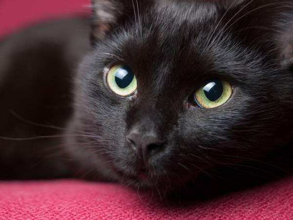 gato preto 3