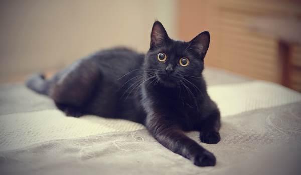 gato preto 4