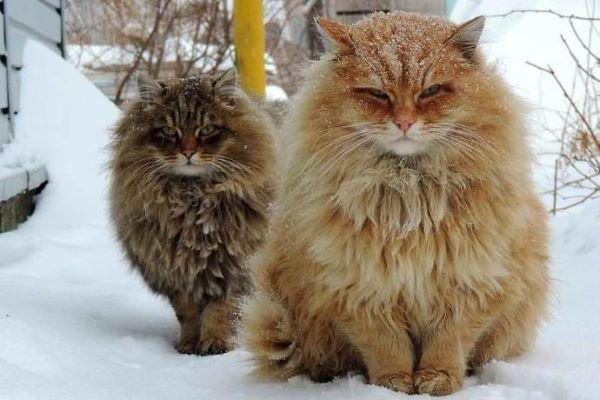 gatos siberia 1