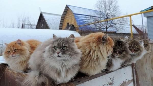 gatos siberia 4