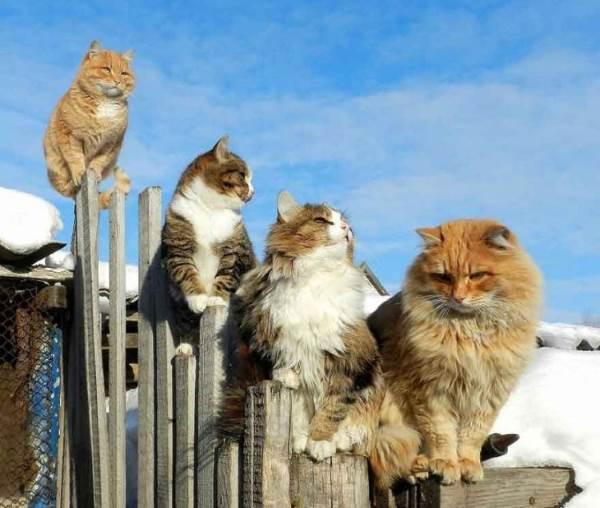 gatos siberia 5