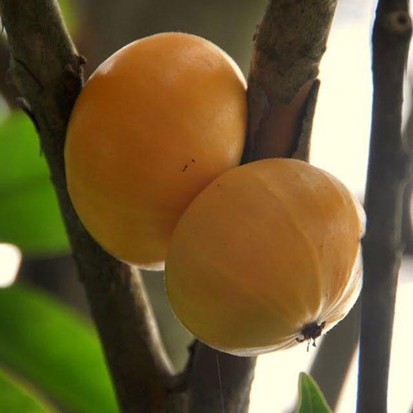 cambuca fruta no pe
