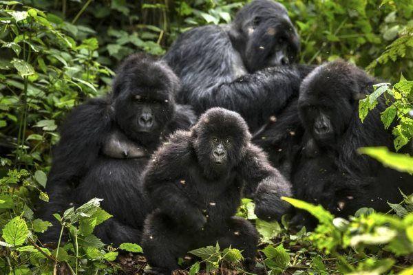 gorilas das montanhas congo