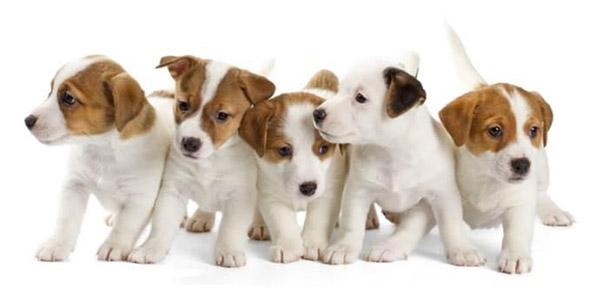 Filhotes de cães