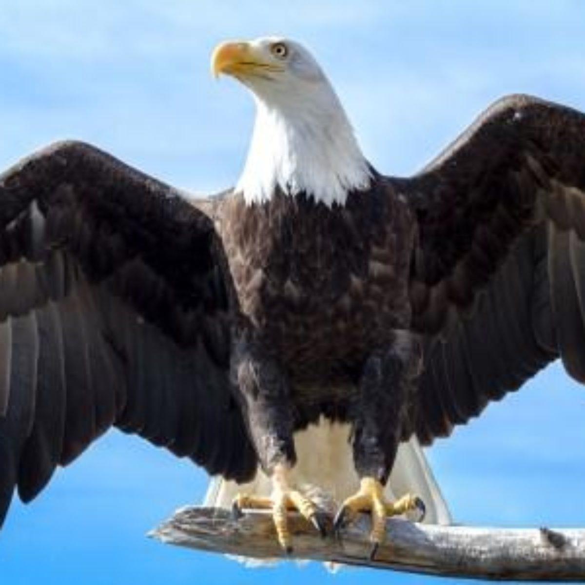 A Simbologia E Os Ensinamentos Da águia Um Exemplo De