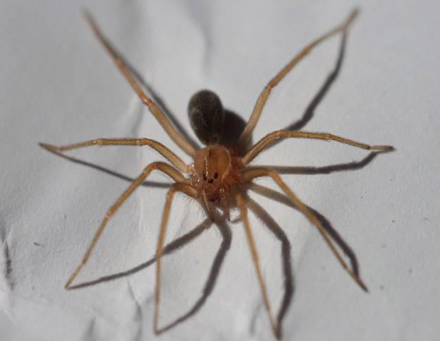aranhaa marrom