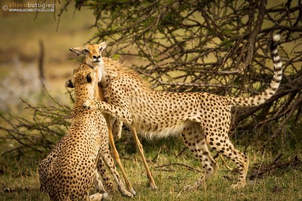 foto impala guepardo1