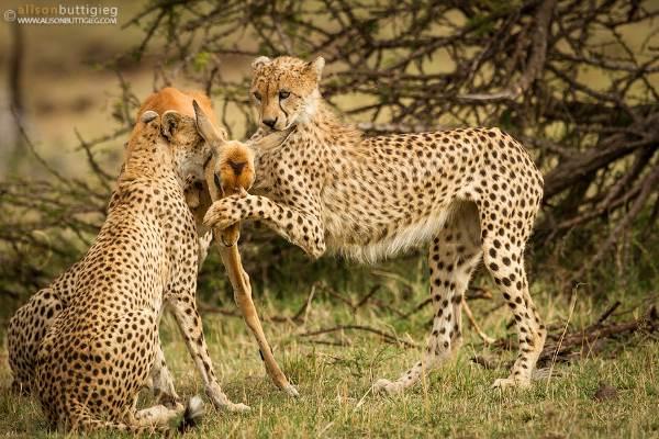 foto impala guepardo2