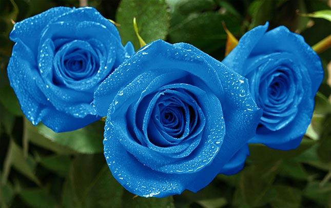 rosa azul plantar