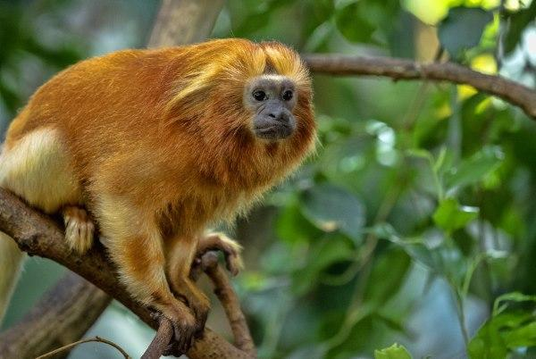 Primatas em extinção