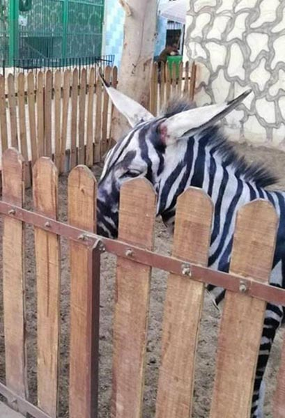zebra falsa