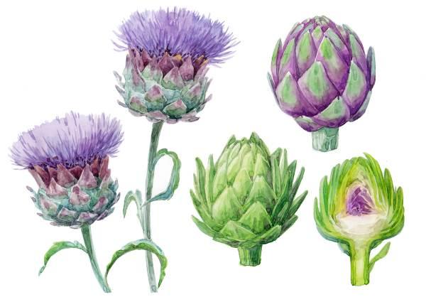 flor alcachofra ilustracao