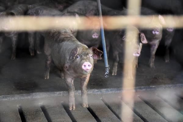 furacao florence porcos 1