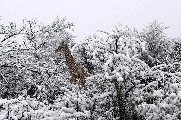 Girafas na neve
