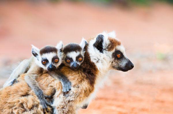lemure 2