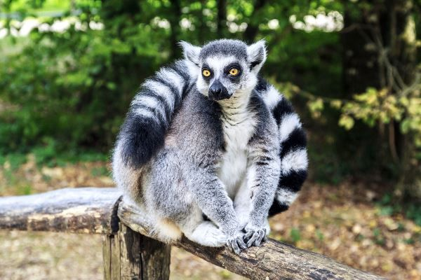 lemure 4