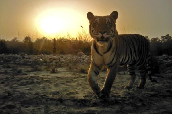 tigre nepal