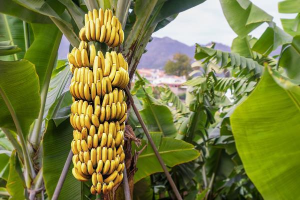 bananeira 2