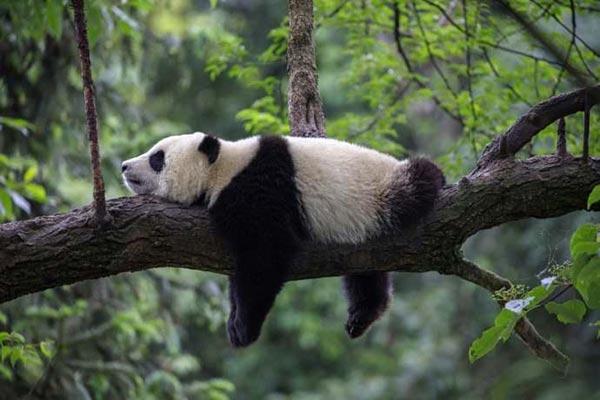 panda-dorme