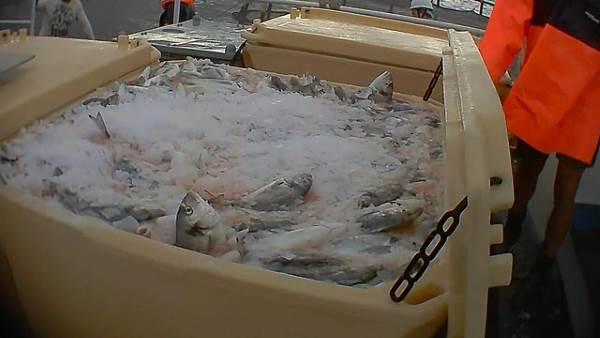 peixe gelo