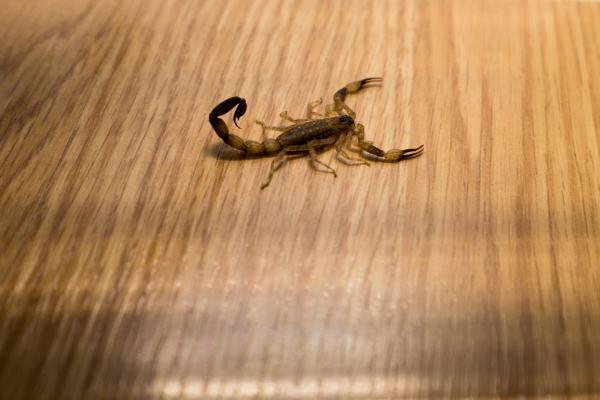 escorpiõe em casa