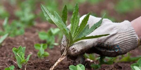 remover ervas daninhas