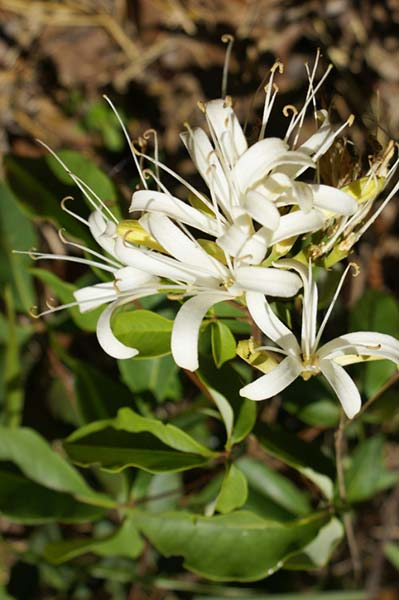 spiranthera odoratissima
