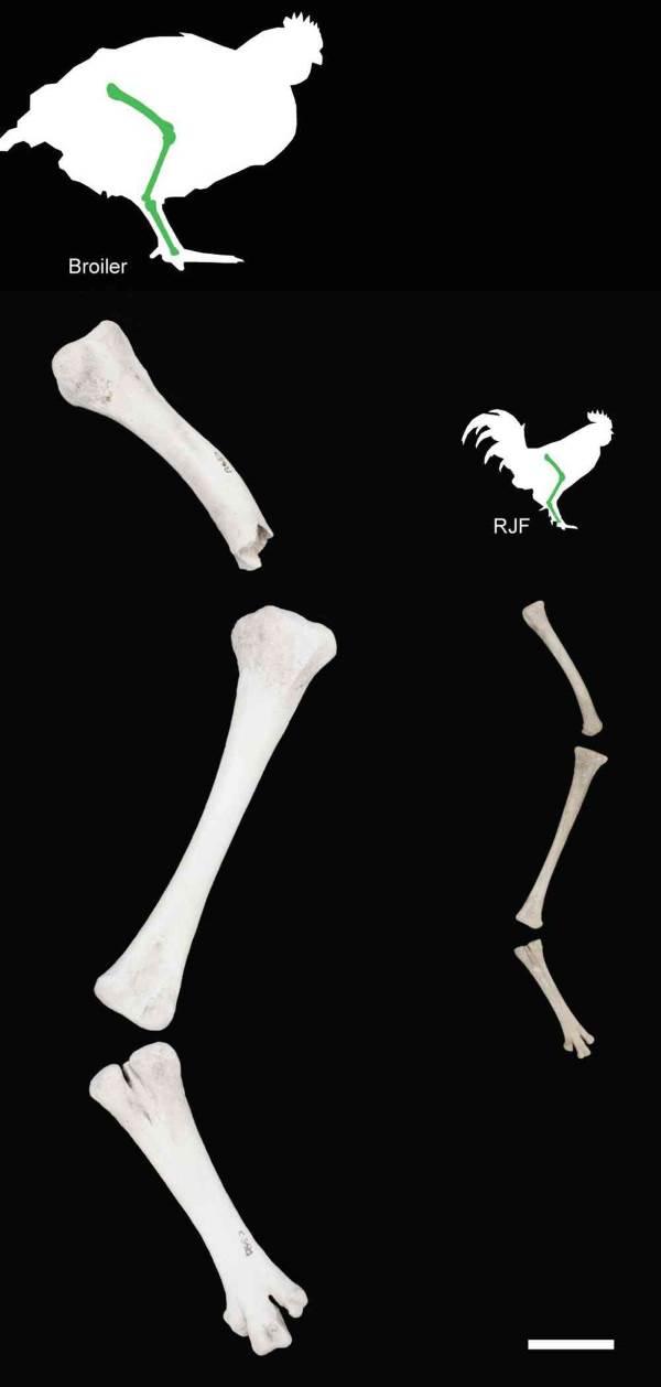 frango ossos