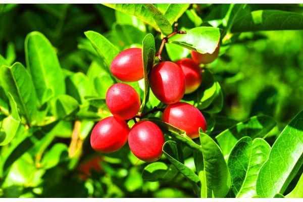 fruta-do-milagre