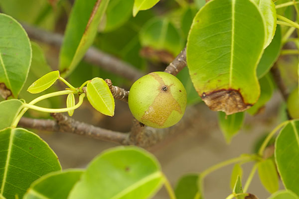 hippomane mancinella fruto