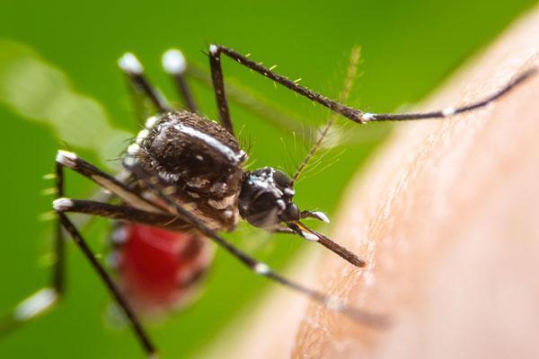 mosquitos-dengue