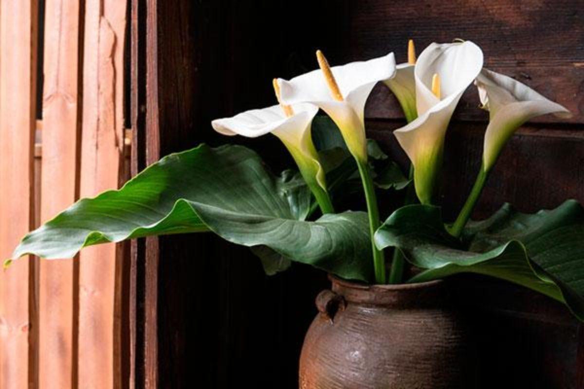 Copo De Leite Significado Da Flor Dicas Para Plantar E
