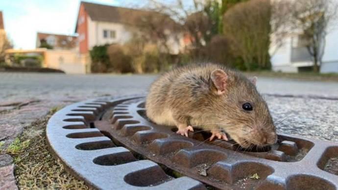 fat rat 2