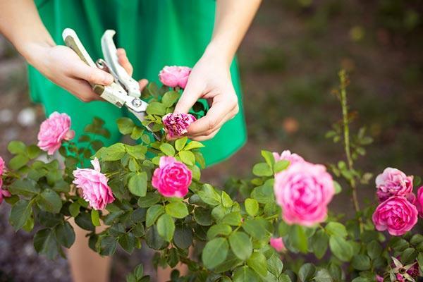 como cuidar rosa