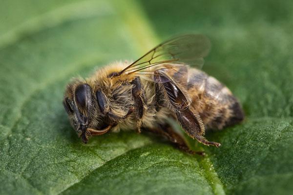 morte de abelhas